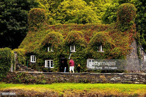 Tu Hwnt ir Bont Tea Rooms in Llanrwst North Wales which is covered in Virginia Creeper and has started its Autumnal change in colour early with the...