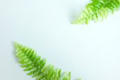 Tuber Sword Fern, Sword Fern. Green tree on white background