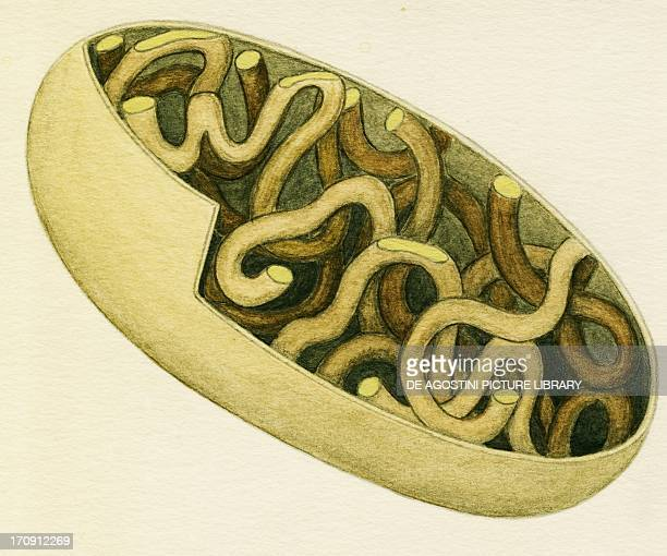 Tubular mitochondria of a cell Drawing