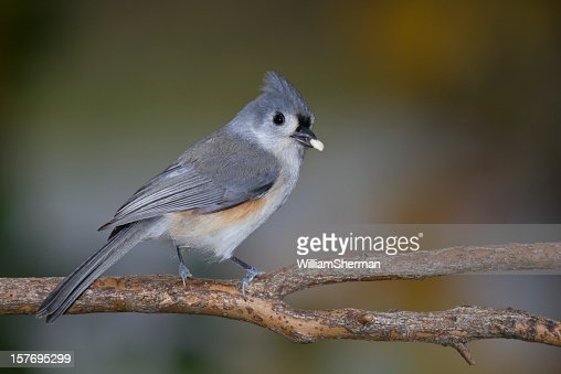 Tufted Titmouse (Baeolophus bicolor) With Seed In Beak : Stock Photo