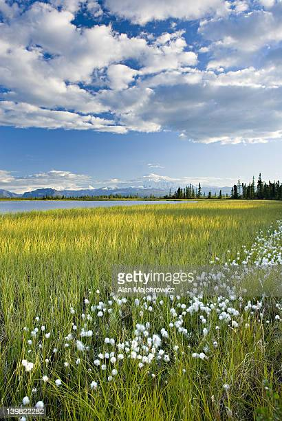 Tufts of Cotton grass, Eriophorum angustifolium, growing along small lake in Wrangell-St. Elias National Park Alaska