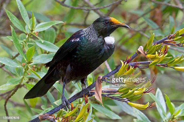 Tui bird on tree branch