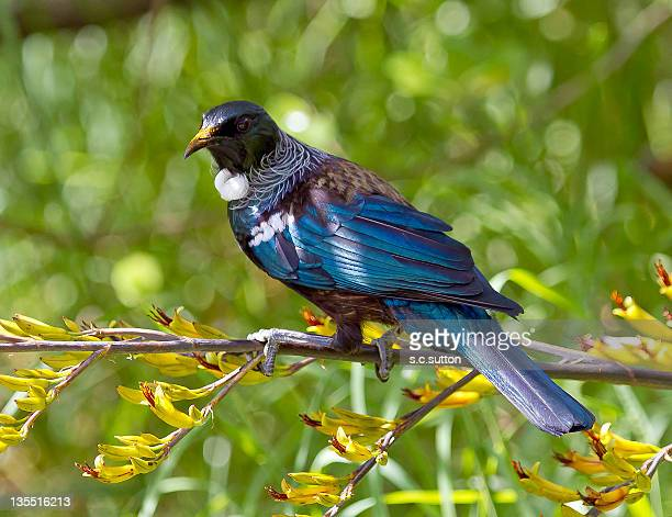 Tui bird on tree