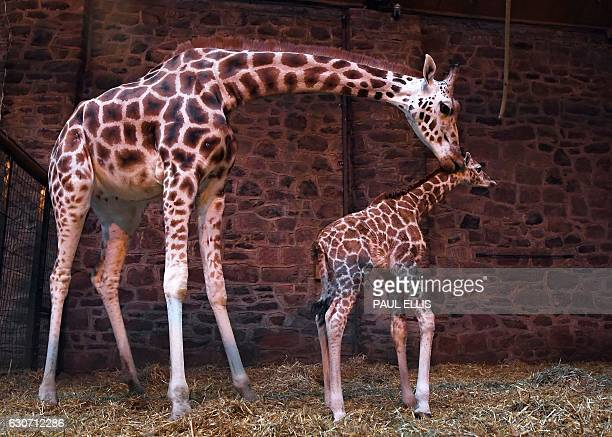 Tula stands alongside her newborn giraffe calf during a photocall to promote the birth of the rare baby Rothschild giraffe at Chester Zoo in Chester...