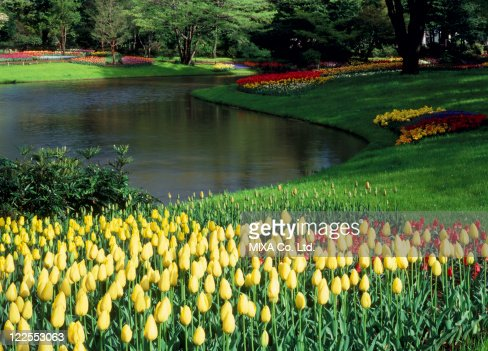 Tulip at Showa Kinen Park, Tachikawa, Tokyo, Japan : Stock Photo