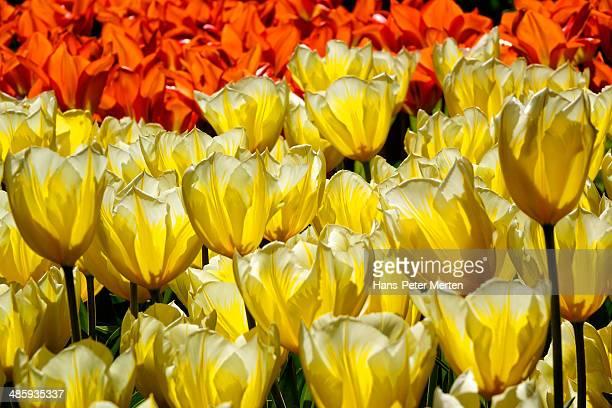 tulip blossom, Keukenhof Gardens, Netherland