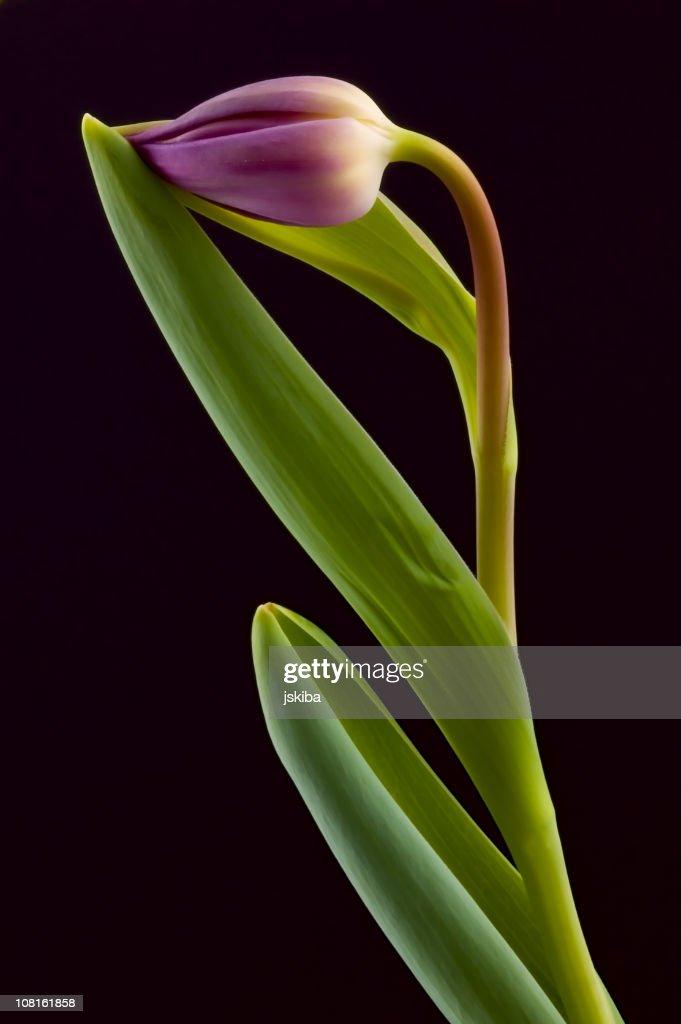 Tulip Bulb on Black : Stock Photo