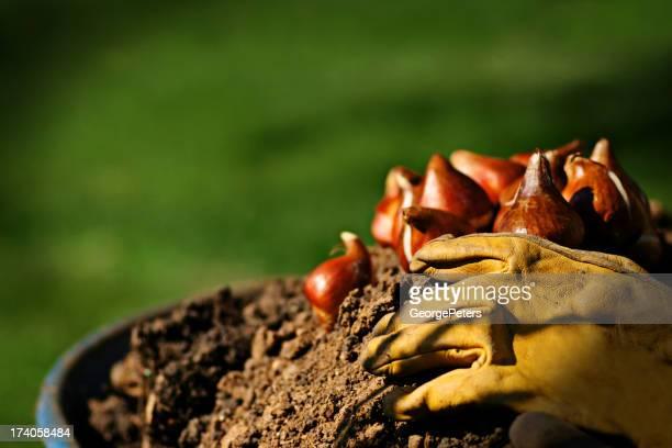 Tulip bulbs in wheelbarrow with gloves