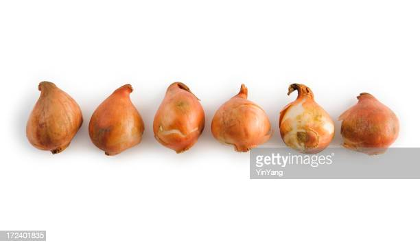 Tulip Bulbs Isolated