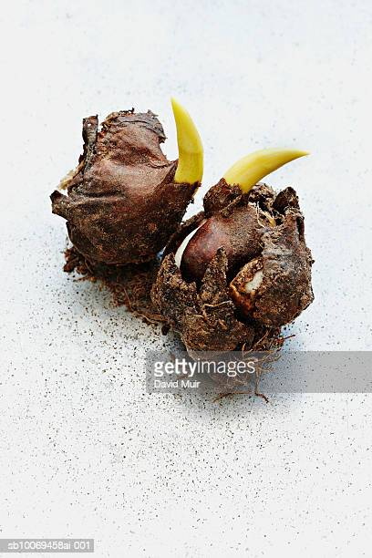 Tulip bulbs, on white background, close-up