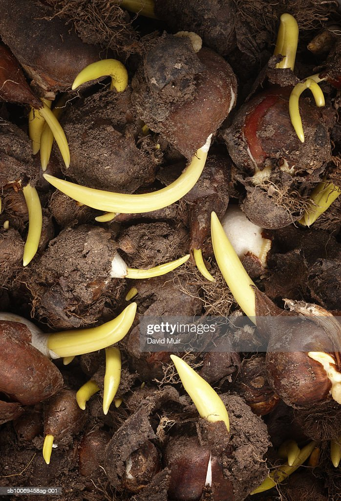 Tulip bulbs sprouting, close-up : Stock Photo