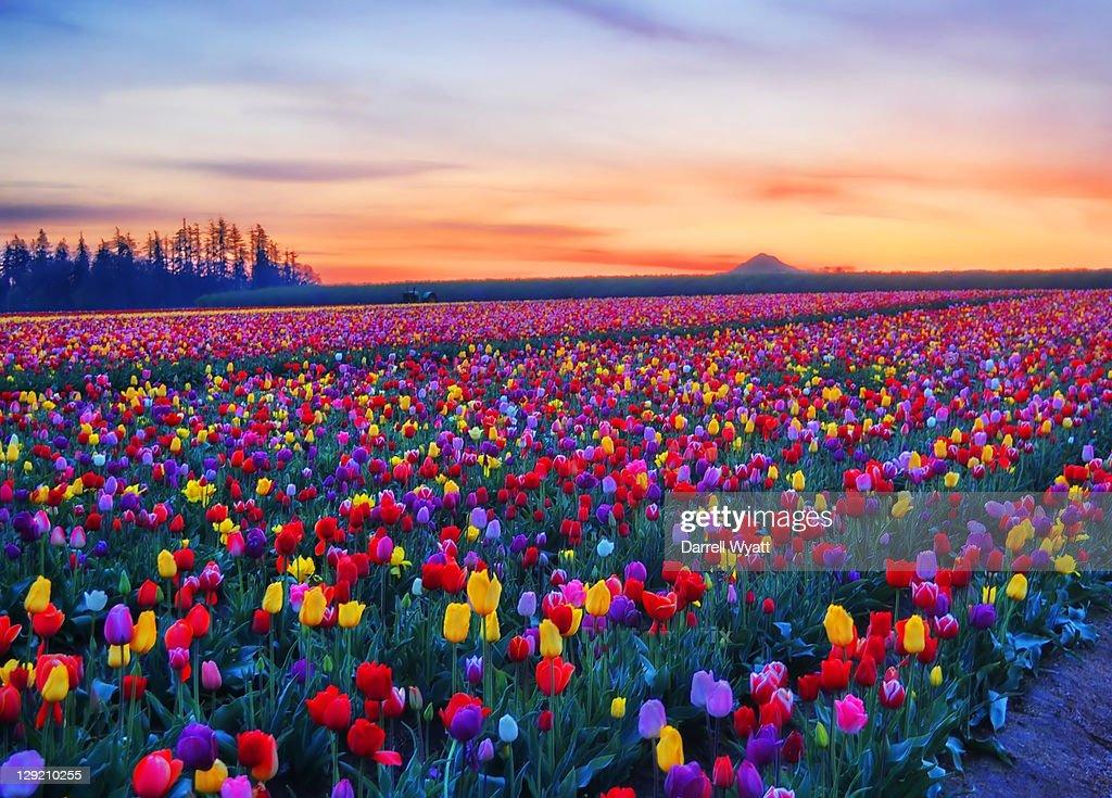 Tulip farm : Stock Photo