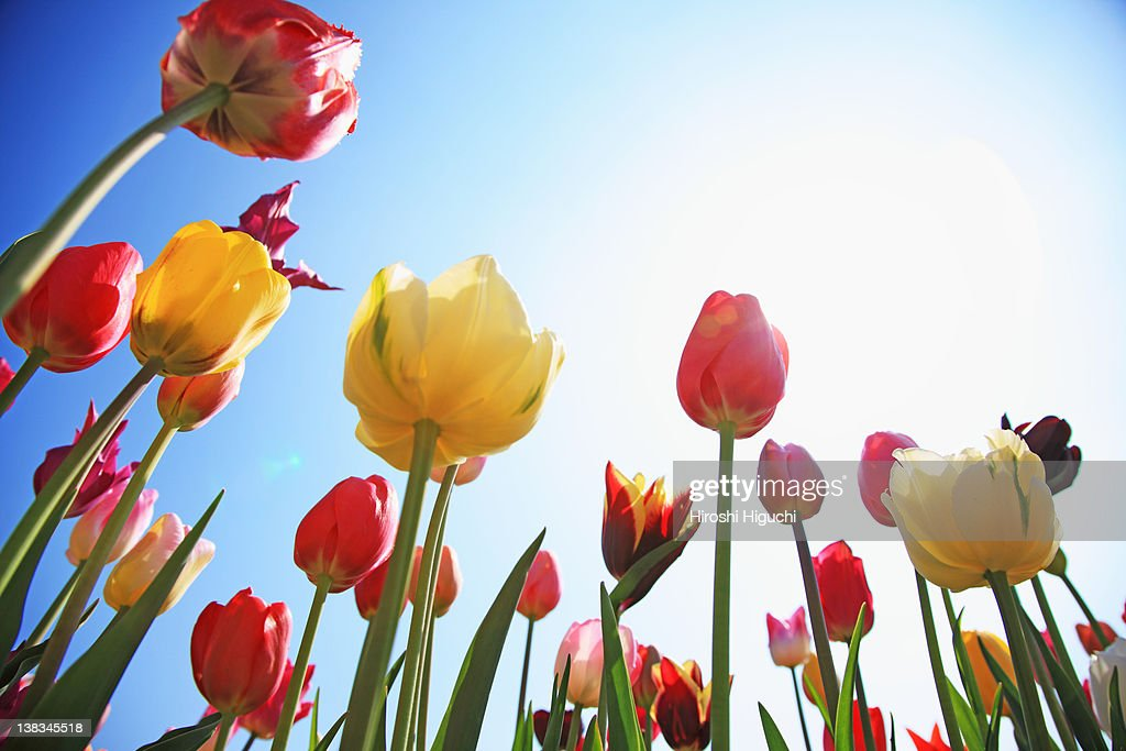 Tulip field : Stock Photo