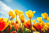 Yellow and red tulips from bellow on a sunny spring day.