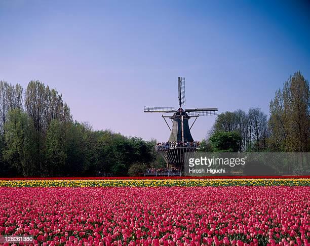 Tulip field with windmill of Keukenhof, Holland, the Netherlands