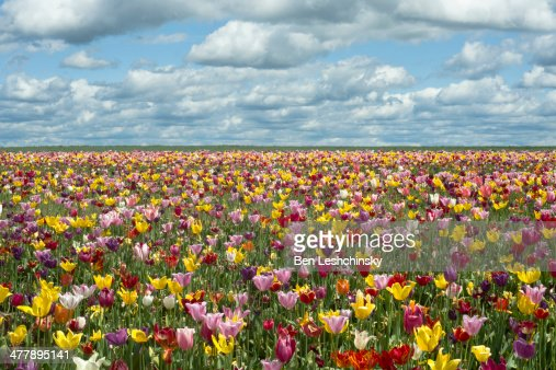 Tulip Fields in Oregon