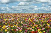 Tulip Fields in Oregon