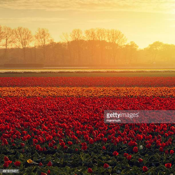 tulip fields in the Netherlands at sunset