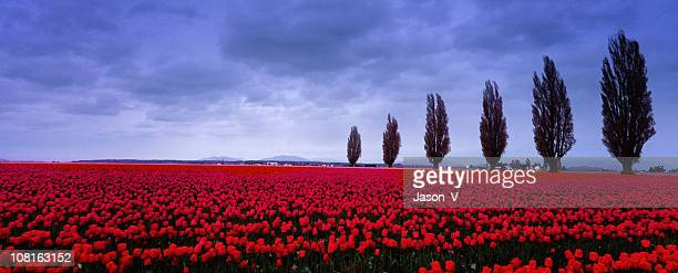 Tulip Fields in the spring 2