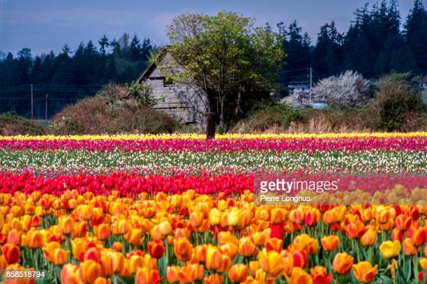 Tulip fields in the spring in the Skagit Valley, Washington State, USA