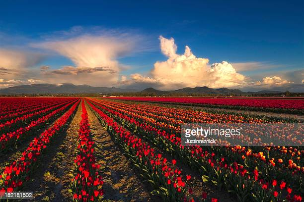 Tulip Fields with Clouds