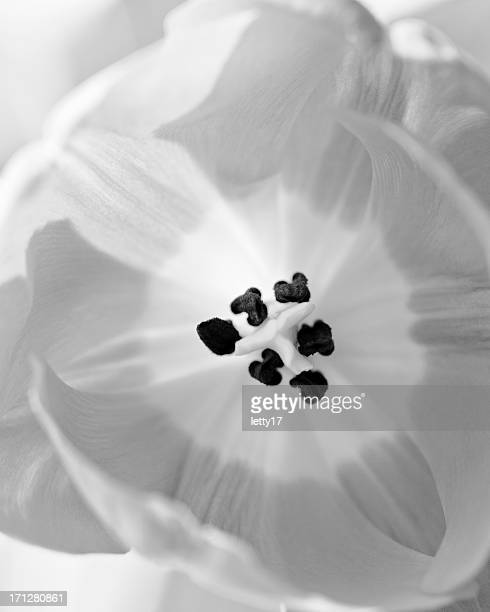 Fleur de Tulipe