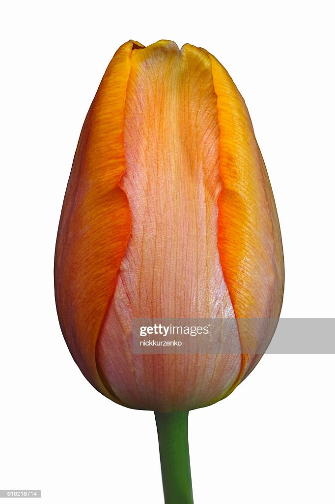 Tulip flower : Stock Photo
