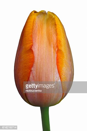 Tulip flower : Stockfoto