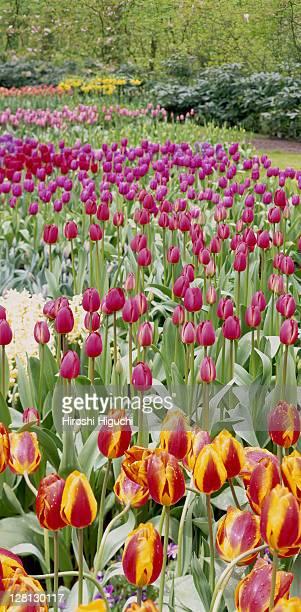 Tulip Garden, Keukenhof, Holland