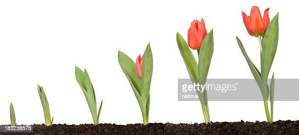 Tulip growth