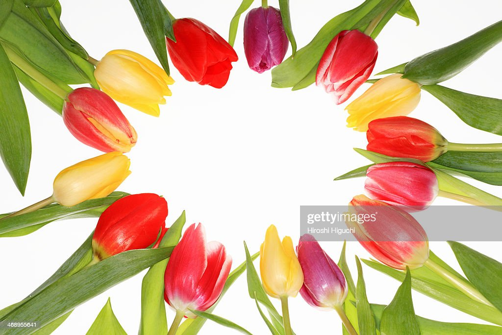 Tulip : Stock Photo
