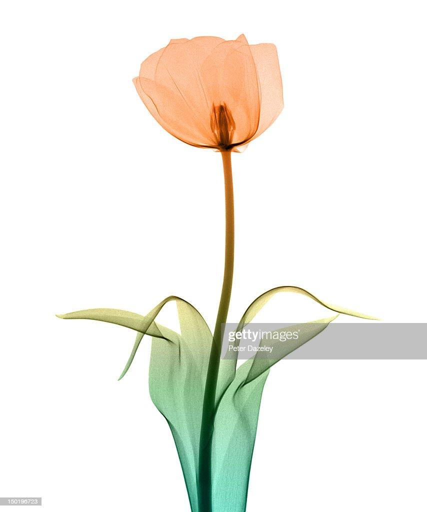 Tulip_10