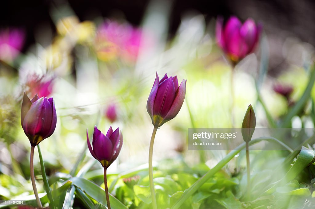 Tulipa pulchella : Stock Photo
