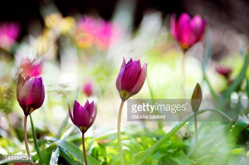 Tulipa pulchella : Stock Photo