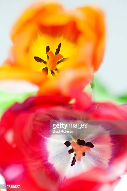 Tulips abstracted