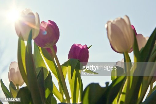 Tulips against blue sky : Stock Photo