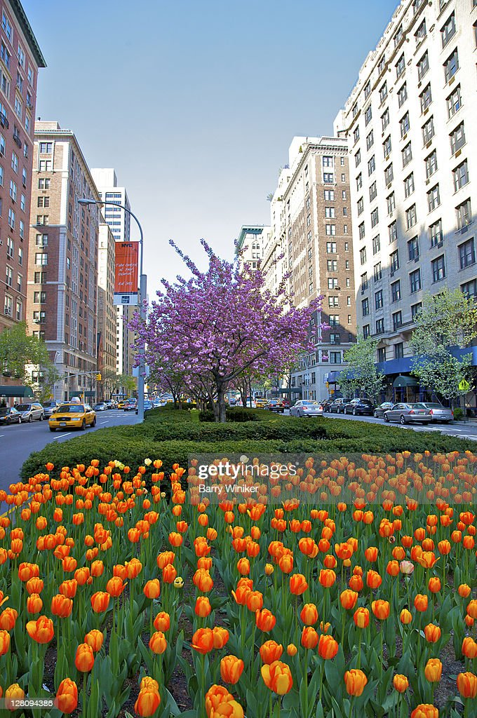 Tulips and cherry blossoms on Park Avenue median, Upper East Side, New York, New York