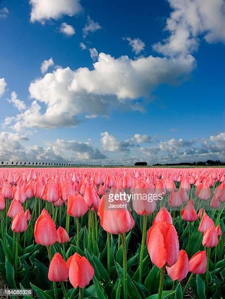 Tulpen und Sky