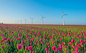 Tulips and wind turbines in a field in spring