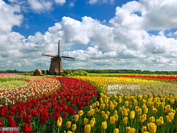 Tulipes et moulin