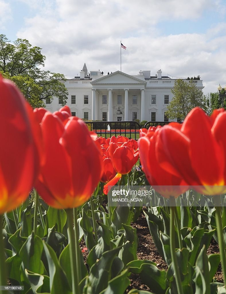 Tulips are seen in a flower bed in Lafayette Square across from the White House on April 22, 2013 in Washington. AFP PHOTO/Mandel NGAN