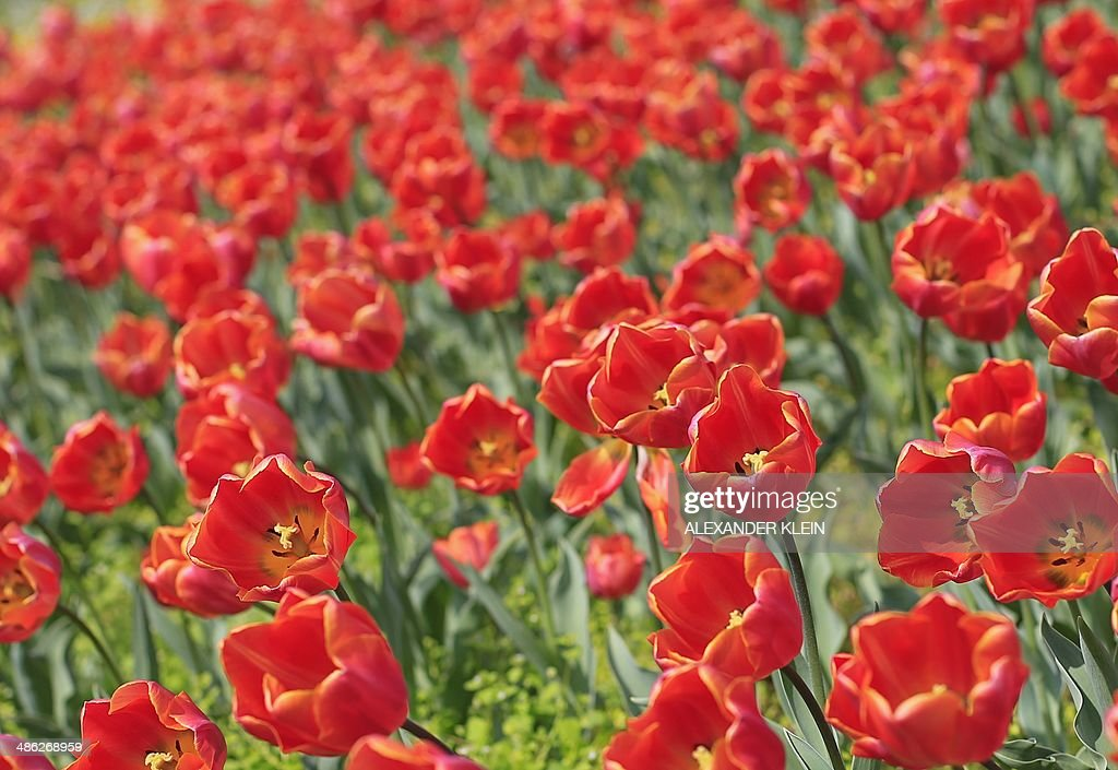 Tulips are seen on a sunny day in the city of Vienna, Austria on April 23, 2014. AFP PHOTO / ALEXANDER KLEIN