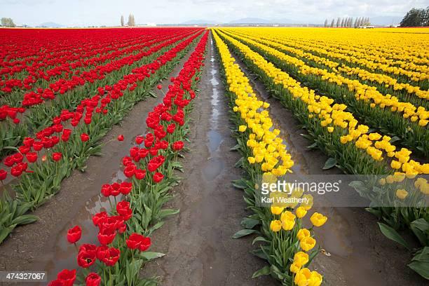 Tulips blooming in Skagit Valley