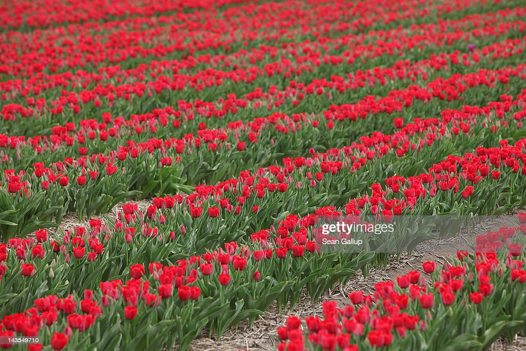 Tulips blossom in a farmer's field in eastern Germany on April 27, 2012 near Schwaneberg, Germany. The plants are harvested for their bulbs rather than their flowers.
