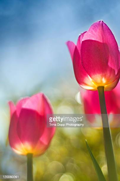 Tulips flower