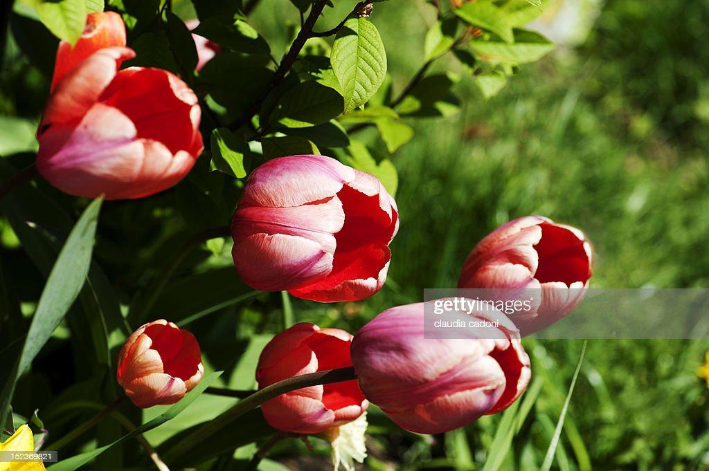 Tulips flower : Stock Photo
