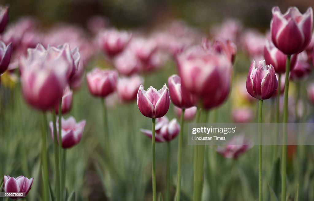 Tulips flowers at full bloom at Mughal Garden during a press preview at Rashtrapati Bhawan on February 10, 2016 in New Delhi, India. The world famous Mughal Gardens will remain open for general public from 12 February to 19 March, 2016 (except on Mondays which are maintenance days) between 9.30 am to 4 pm, a press release issued today by Rashtrapati Bhavan said.