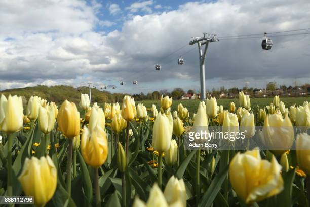 Tulips grow at the IGA International Garden Exhibition on April 13 2017 in Berlin Germany The showcase of flora and horticultural design held every...
