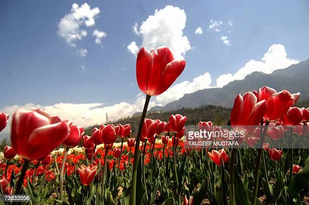 Tulips growing in a field at Siraj Bagh on the outskirts of Srinagar 07 April 2007 Some 360000 tulips have started blooming in the fields outside the...