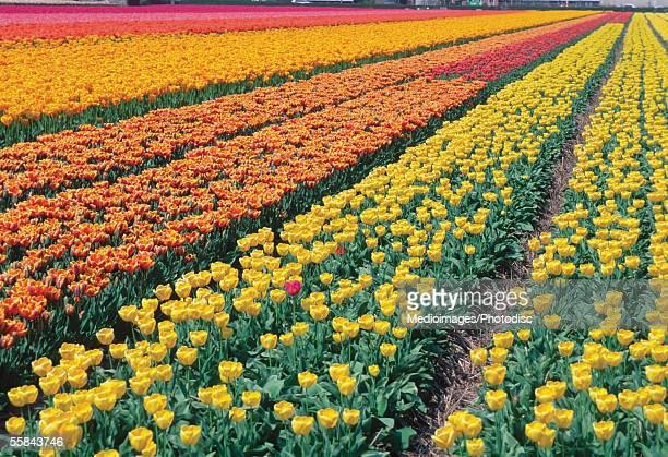 Tulips in a field, Leiden, Netherlands